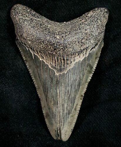 "2.15"" Juvenile Megalodon Tooth - Serrated"