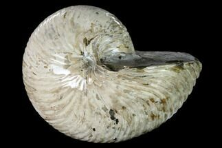 "Buy 6.1"" Polished Fossil Nautilus (Cymatoceras) - Madagascar - #157816"