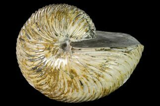"6.2"" Polished Fossil Nautilus (Cymatoceras) - Madagascar For Sale, #157817"