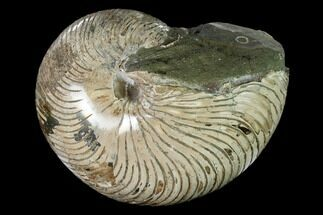 "Buy 6.5"" Polished Fossil Nautilus (Cymatoceras) - Madagascar - #157819"