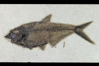 "Buy 9.4"" Fossil Fish (Diplomystus) - Wyoming - #158557"