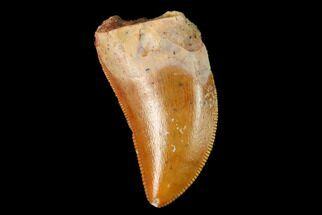 "Serrated, .72"" Baby Carcharodontosaurus Tooth - Morocco For Sale, #159299"