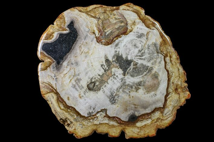 "10.1"" Polished, Petrified Wood Round - Indonesia"