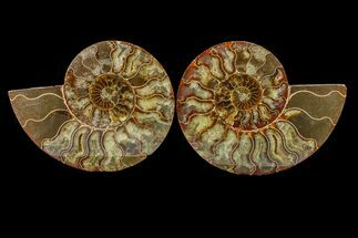 "Buy 5.95"" Agate Replaced Ammonite Fossil (Pair) - Madagascar - #158329"