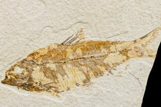 Knightia eocaena  - Fossils For Sale - #159552