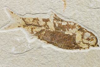 "4.1"" Fossil Fish (Knightia) - Wyoming For Sale, #159560"