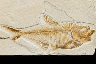 "Bargain, 4.9"" Fossil Fish (Diplomystus) - Wyoming For Sale, #159563"