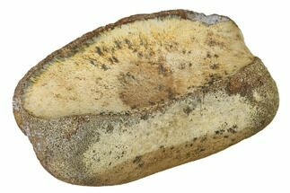 "2.8"" Fossil Hadrosaur Toe Bone - Montana For Sale, #159695"