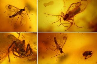 Buy Two Fossil Flies, a Spider and a Mite in Baltic Amber - #159763