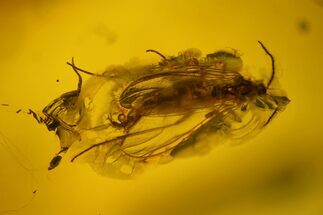 Fossil Fly (Diptera) In Baltic Amber For Sale, #159785