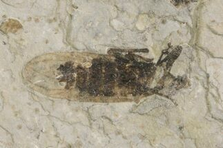 "Buy .56"" Fossil March Fly (Plecia) - Green River Formation - #154495"