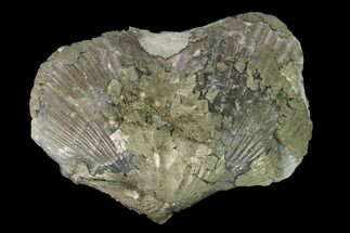 "Buy 1.6"" Pyrite Replaced Brachiopod (Paraspirifer) Fossil - Ohio - #160084"