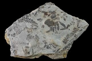 Neuropteris sp. & Macroneuropteris sp. - Fossils For Sale - #160251