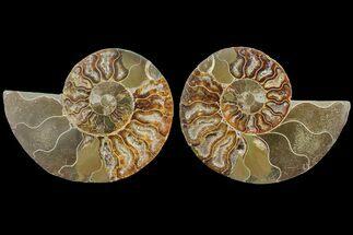 "Buy Bargain, 4.1"" Cut & Polished Ammonite Fossil (Pair) - Madagascar - #148042"