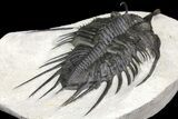 "Huge, 6.05"" Spiny Psychopyge Trilobite - Issoumour, Morocco - #160890-4"