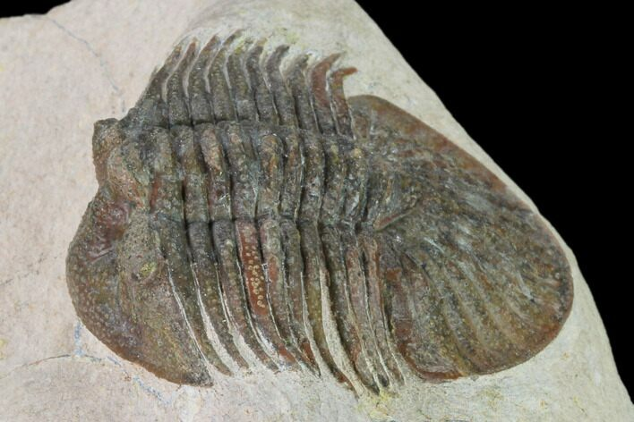 "1.9"" Metascutellum Trilobite - Very Pustulose"
