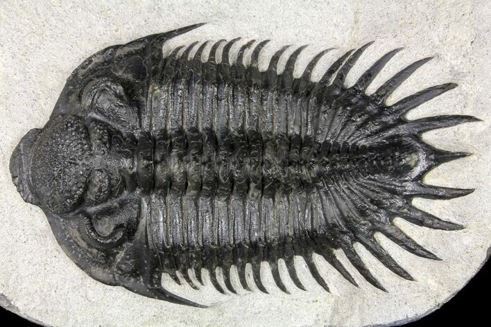 "3.5"" Spiny Saharops Trilobite - Oued Ghris, Morocco"