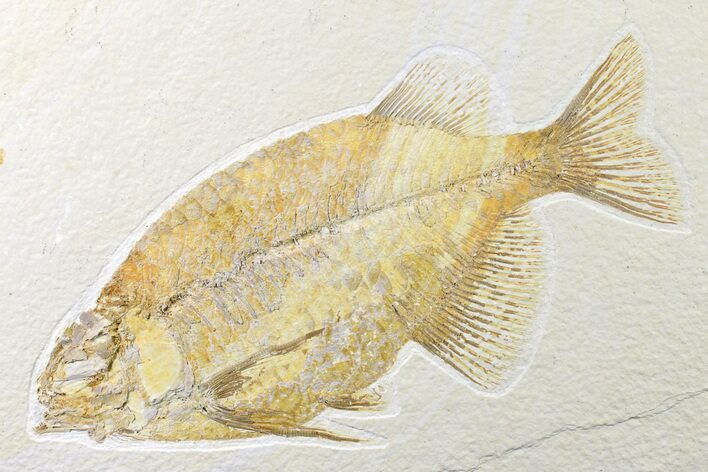 "7.4"" Fossil Fish (Phareodus) - Beautiful Specimen"