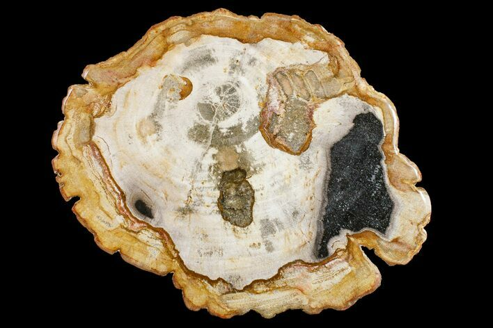 "11.2"" Petrified Wood (Tropical Hardwood) Round - Indonesia"