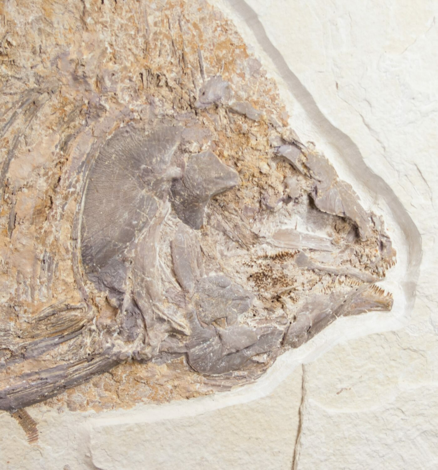 13 5 phareodus fossil fish for sale 10814 for Fish fossils for sale