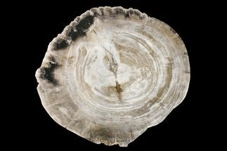 "11"" Tropical Hardwood Petrified Wood Dish - Indonesia For Sale, #160976"