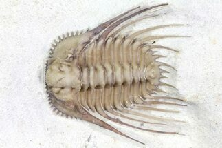 "Top Quality, 1.15"" Kettneraspis Trilobite - Black Cat Mountain For Sale, #162083"
