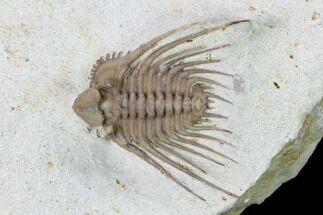 ".9"" Kettneraspis Trilobite With Brachiopod - Black Cat Mountain For Sale, #162110"