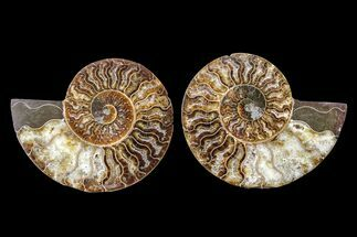 Cleoniceras - Fossils For Sale - #162132