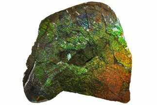 "5.25"" Iridescent Ammolite (Fossil Ammonite Shell) - Alberta, Canada For Sale, #162386"