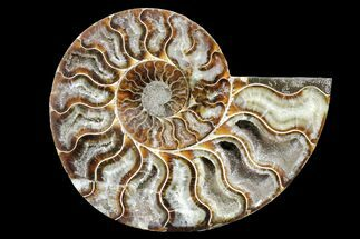 Cleoniceras - Fossils For Sale - #162150