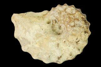 Calycoceras tarrantense - Fossils For Sale - #162627