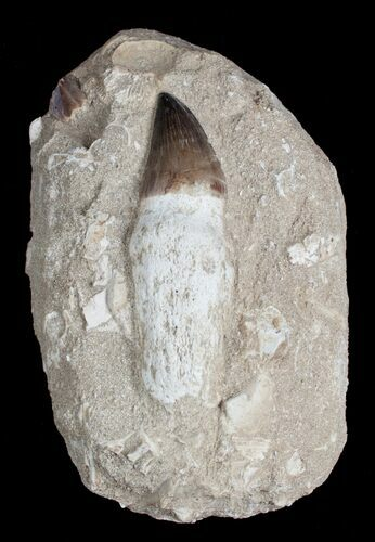 Giant Rooted Mosasaur Tooth in Matrix