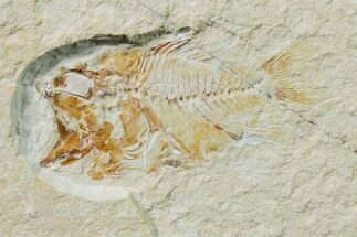 Stichocentrus sp. - Fossils For Sale - #162732