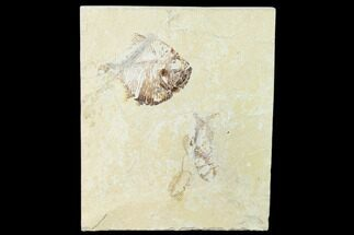 Diplomystus birdi & Carpopenaeus sp. - Fossils For Sale - #162756