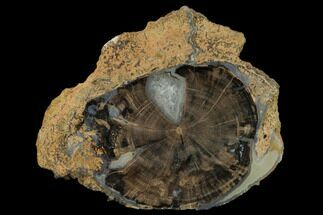 "5.15"" Petrified Wood (Schinoxylon) Round - Blue Forest, Wyoming For Sale, #162923"