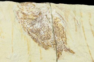 Ctenothrissa sp. - Fossils For Sale - #162816
