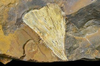 Ginkgo cranei - Fossils For Sale - #163203
