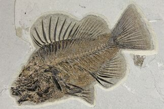 "9.1"" Fossil Fish (Priscacara) From Wyoming - Exceptional Specimen For Sale, #163427"