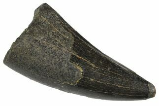 "1.16"" Juvenile Tyrannosaur Premax Tooth - Two Medicine Formation For Sale, #163382"