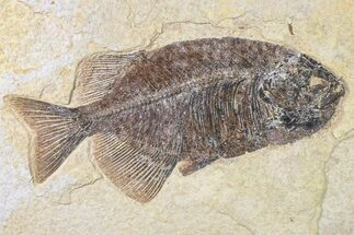 "Buy 10.3"" Fossil Fish (Phareodus) - Beautiful Specimen - #163420"