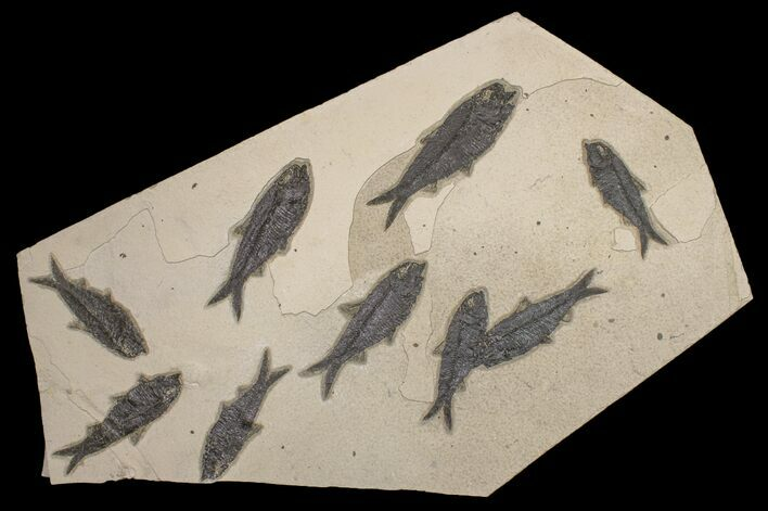 "22.3"" Shale With Nine, Large Fossil Fish (Knightia) - Wyoming"