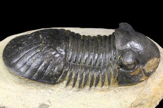 "Buy Bargain, 2.8"" Paralejurus Trilobite - Atchana, Morocco - #163198"