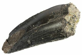 "1.42"" Serrated, Allosaurus Tooth - Bone Cabin Quarry, Wyoming For Sale, #163400"