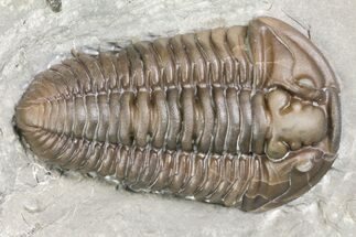 "Buy 1.55"" Prone Flexicalymene Trilobite - Mt. Orab, Ohio - #163453"