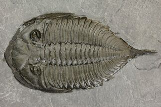 "Buy 2.75"" Dalmanites Trilobite Fossil  - New York - #163585"