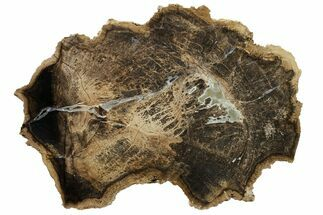 "8.2"" Polished Petrified Tropical Hardwood Round - Texas For Sale, #163718"