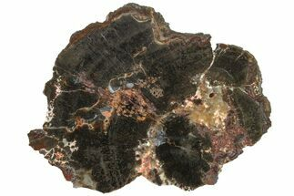 "Buy 4.5"" Triassic Petrified Wood (Conifer) Slab - Utah - #163672"