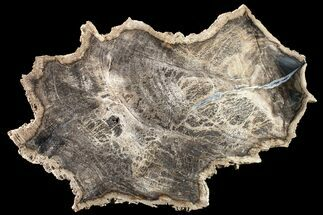 Tropical Hardwood (Hunteria?) - Fossils For Sale - #163722
