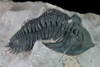 Metacanthina issoumourensis - Fossils For Sale - #163890