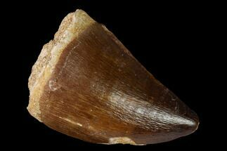 "1.4"" Fossil Mosasaur (Prognathodon) Tooth - Morocco For Sale, #164150"
